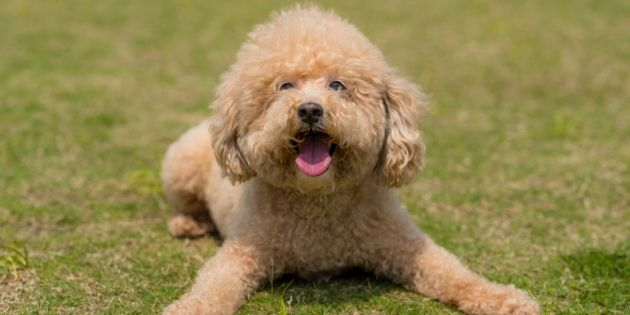 dog grooming - curly hair