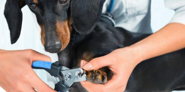 dog grooming - nail trimming